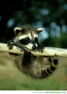 cute-animal-pictures-little-raccoon-swinging